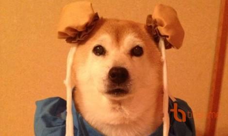 Đôi chó Shiba đáng yêu cosplay thành thập cẩm ngũ tạng thứ trên đời