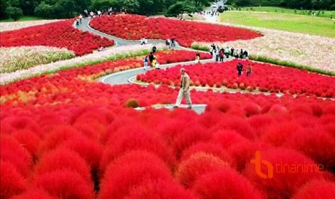 Sắc màu rực rỡ ở thiên đường hoa Hitachi – Nhật Bản