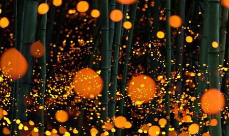 Ngắm khung cảnh đom đóm lập lòe như cổ tích tại Nhật Bản!