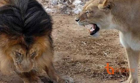 Từ thế giới động vật vào thế giới manga - Vợ tui là sư tử Hà Đông!