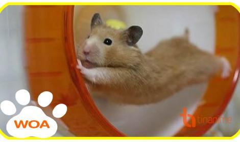 """Bé chuột hamster cũng """"đòi"""" cosplay anime!"""