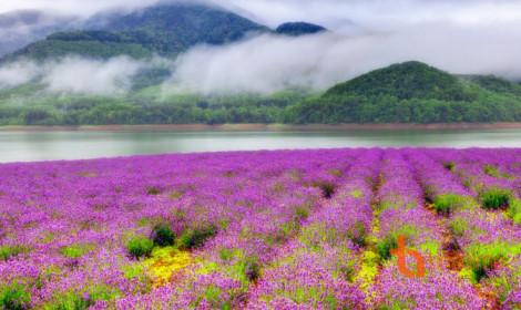 Ngất ngây đồng hoa oải hương ở Nhật Bản!