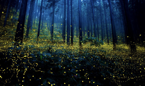 Choáng ngợp trước khu rừng đom đóm đẹp như mơ tại Nhật Bản